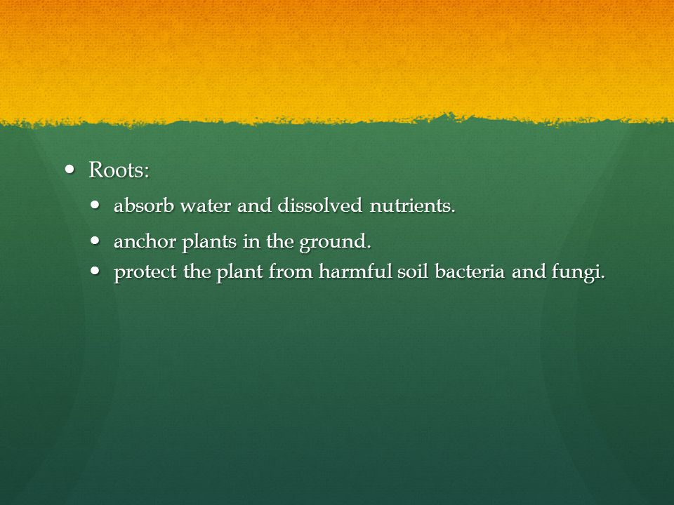 Roots: Roots: absorb water and dissolved nutrients. absorb water and dissolved nutrients. anchor plants in the ground. anchor plants in the ground. pr