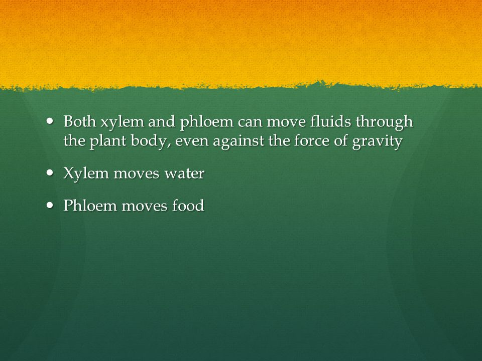 Both xylem and phloem can move fluids through the plant body, even against the force of gravity Both xylem and phloem can move fluids through the plan