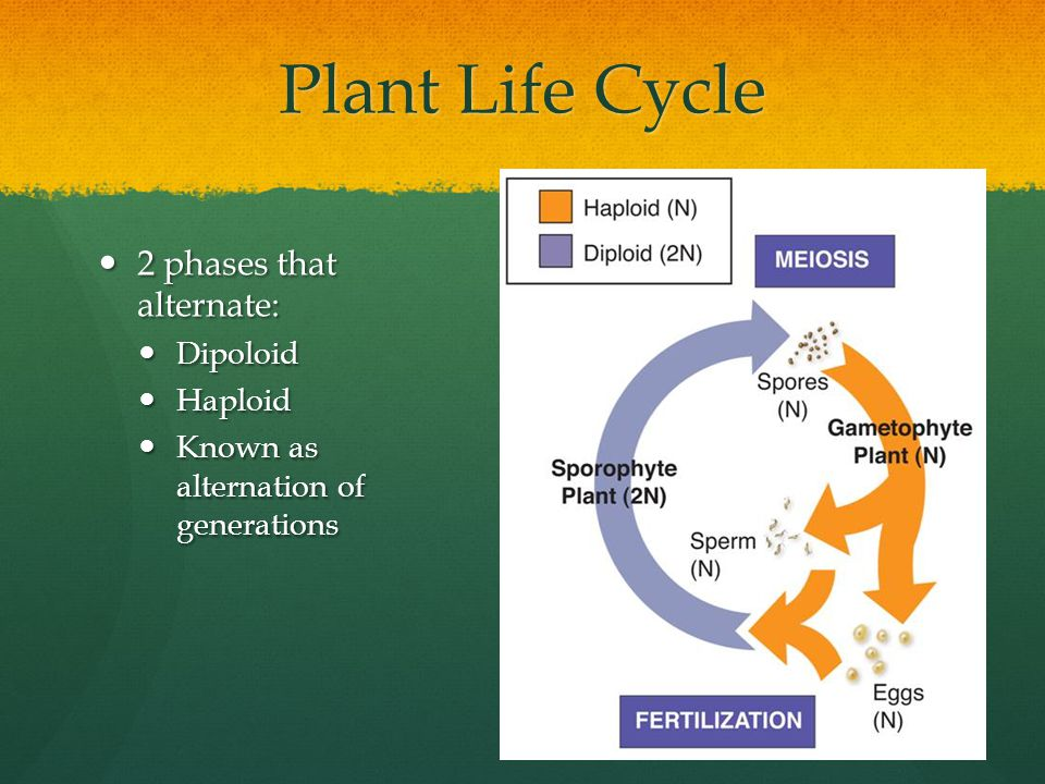 Plant Life Cycle 2 phases that alternate: 2 phases that alternate: Dipoloid Dipoloid Haploid Haploid Known as alternation of generations Known as alte