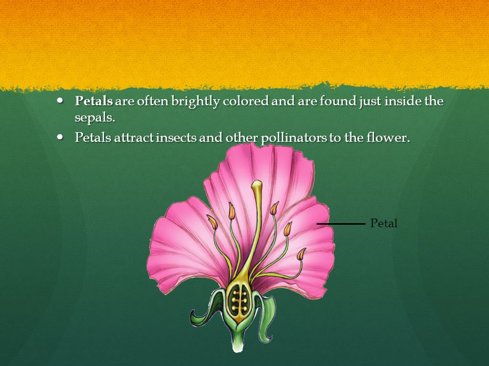 Petals are often brightly colored and are found just inside the sepals. Petals are often brightly colored and are found just inside the sepals. Petals