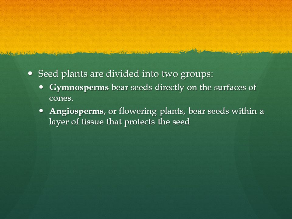 Seed plants are divided into two groups: Seed plants are divided into two groups: Gymnosperms bear seeds directly on the surfaces of cones. Gymnosperm