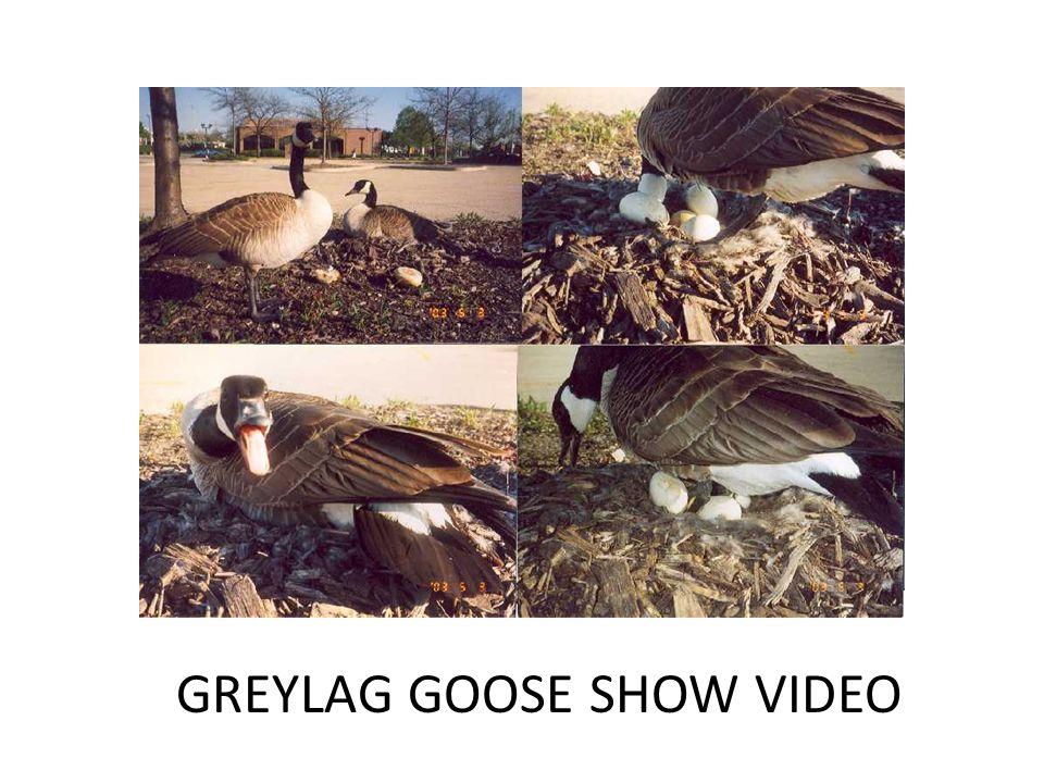 GREYLAG GOOSE SHOW VIDEO