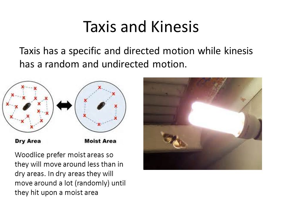 Taxis and Kinesis Taxis has a specific and directed motion while kinesis has a random and undirected motion. Woodlice prefer moist areas so they will