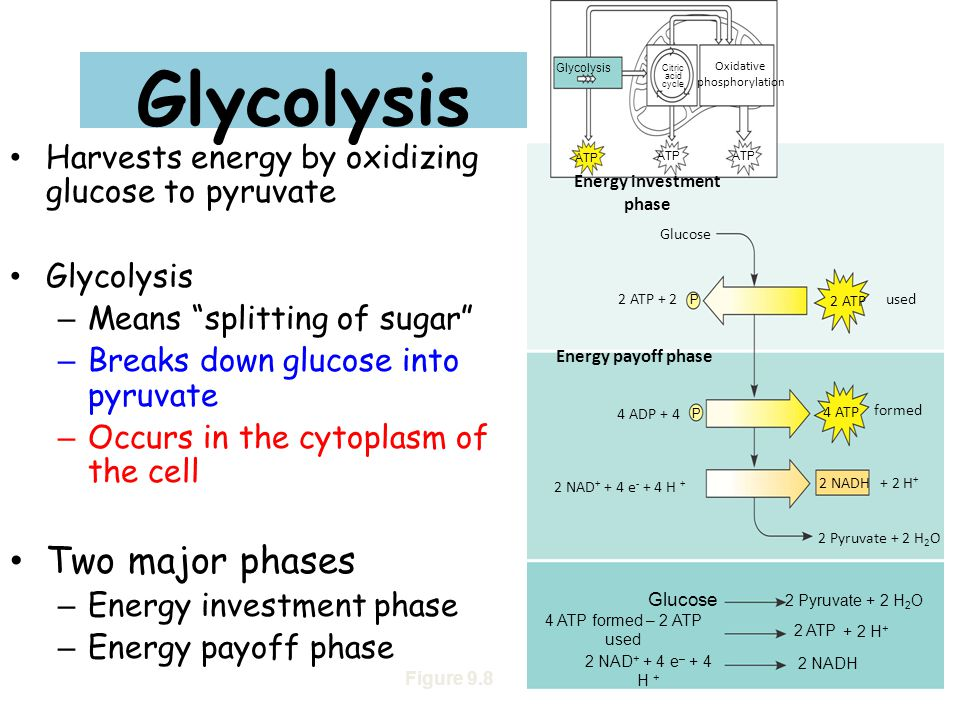 """Glycolysis Harvests energy by oxidizing glucose to pyruvate Glycolysis – Means """"splitting of sugar"""" – Breaks down glucose into pyruvate – Occurs in th"""