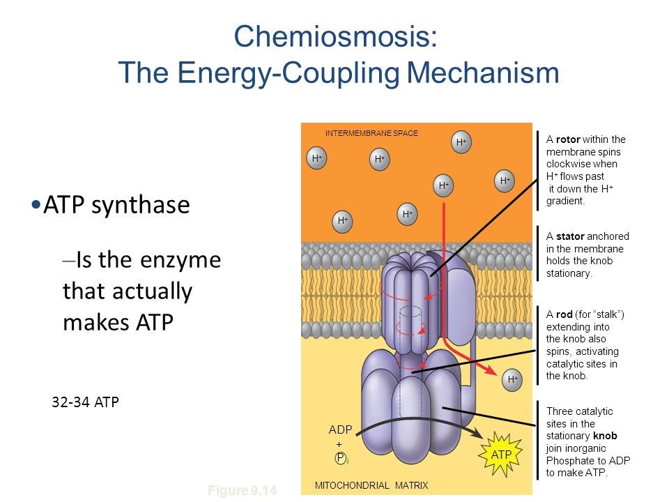 Chemiosmosis: The Energy-Coupling Mechanism ATP synthase – Is the enzyme that actually makes ATP INTERMEMBRANE SPACE H+H+ H+H+ H+H+ H+H+ H+H+ H+H+ H+H