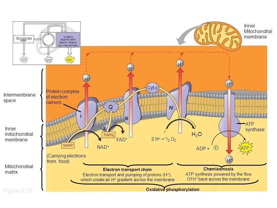 Oxidative phosphorylation. electron transport and chemiosmosis Glycolysis ATP Inner Mitochondrial membrane H+H+ H+H+ H+H+ H+H+ H+H+ ATP P i Protein co
