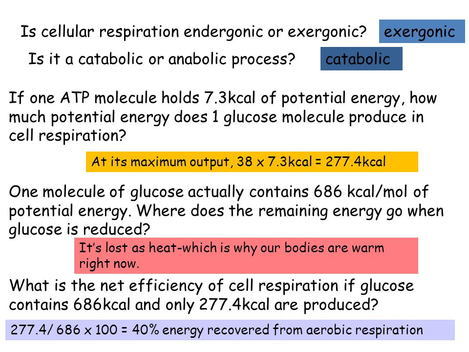 If one ATP molecule holds 7.3kcal of potential energy, how much potential energy does 1 glucose molecule produce in cell respiration? One molecule of