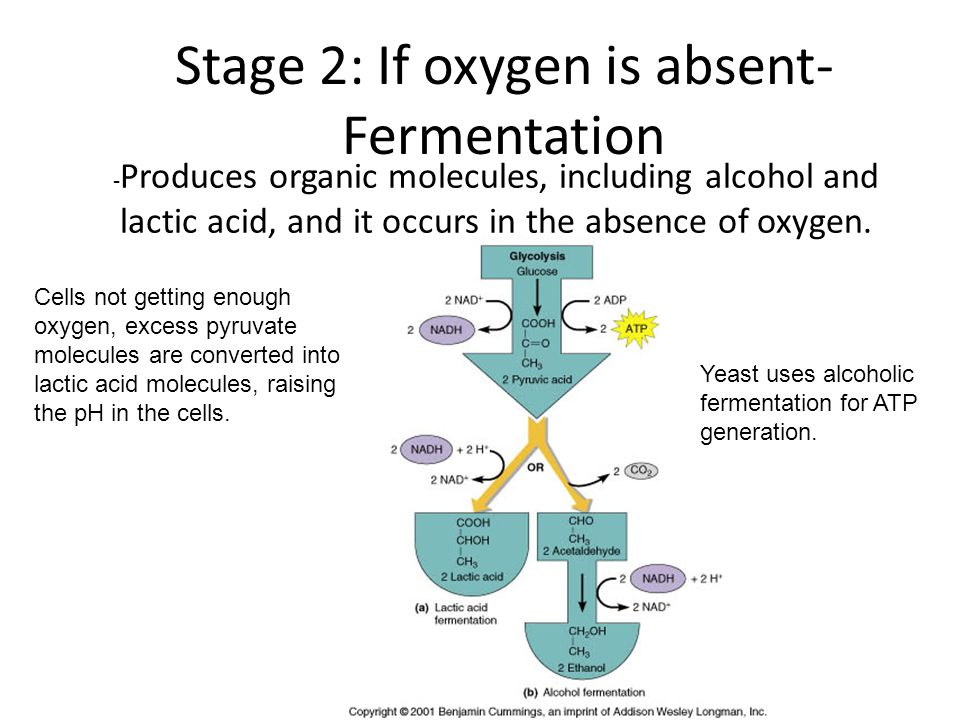 Stage 2: If oxygen is absent- Fermentation - Produces organic molecules, including alcohol and lactic acid, and it occurs in the absence of oxygen. Ce