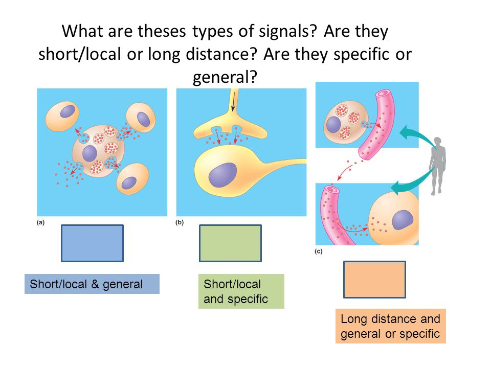 Paracrine signaling Synaptic signaling Hormonal signaling What are theses types of signals? Are they short/local or long distance? Are they specific o