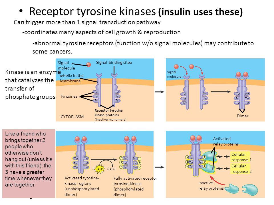 Receptor tyrosine kinases (insulin uses these) Signal molecule Signal-binding sitea CYTOPLASM Tyrosines Signal molecule  Helix in the Membrane Tyr Di