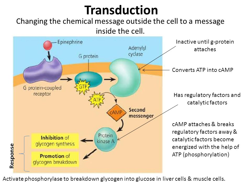 Inactive until g-protein attaches Converts ATP into cAMP Has regulatory factors and catalytic factors cAMP attaches & breaks regulatory factors away &