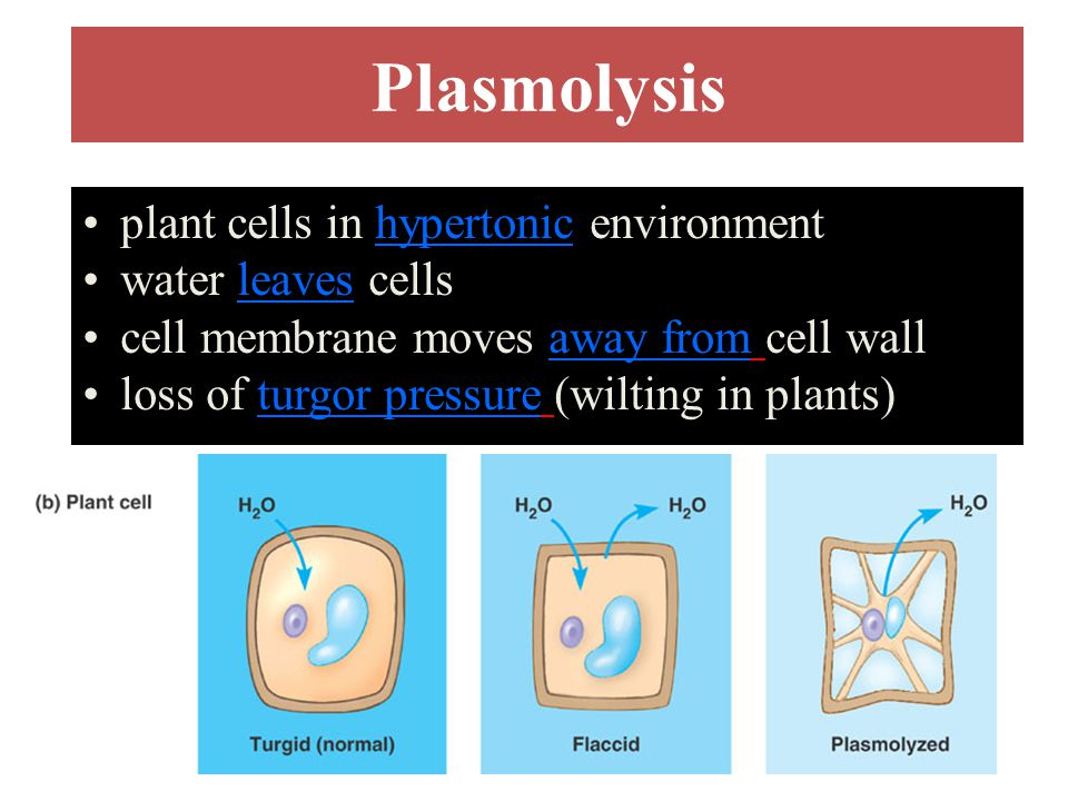Plasmolysis plant cells in hypertonic environment water leaves cells cell membrane moves away from cell wall loss of turgor pressure (wilting in plant