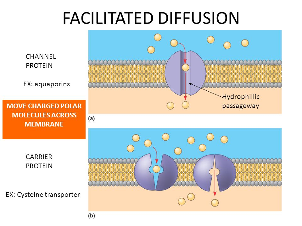 FACILITATED DIFFUSION CHANNEL PROTEIN CARRIER PROTEIN MOVE CHARGED POLAR MOLECULES ACROSS MEMBRANE Hydrophillic passageway EX: aquaporins EX: Cysteine