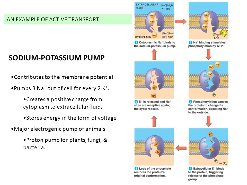 SODIUM-POTASSIUM PUMP Contributes to the membrane potential Pumps 3 Na + out of cell for every 2 K +. Creates a positive charge from cytoplasm to extr