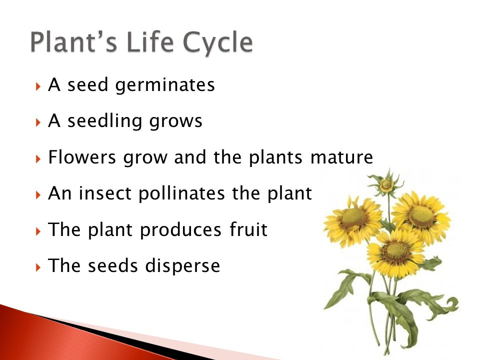  A seed germinates  A seedling grows  Flowers grow and the plants mature  An insect pollinates the plant  The plant produces fruit  The seeds di