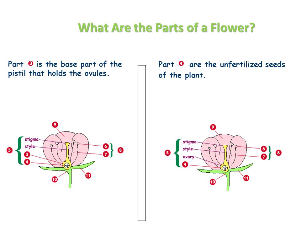 What Are the Parts of a Flower.
