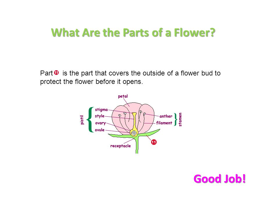 Part is the part that covers the outside of a flower bud to protect the flower before it opens. What Are the Parts of a Flower? Good Job!