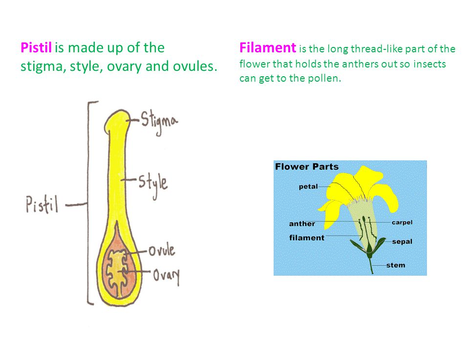 Stamen is the male part of the flower that is made up of the anther and the filament.