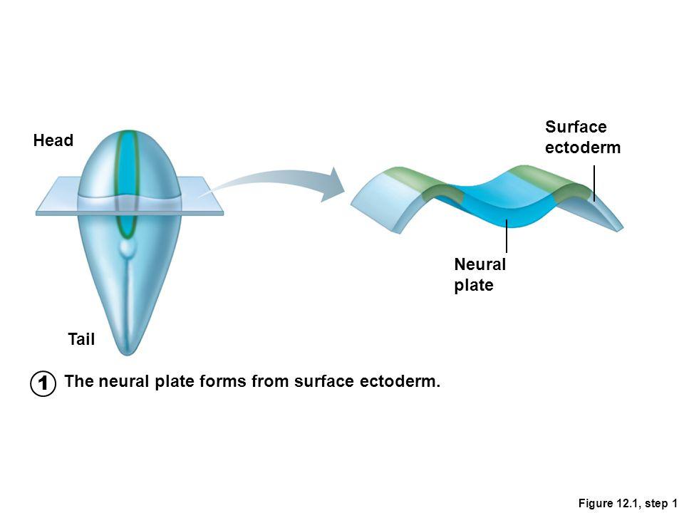 Sensory Areas Occur in parietal lobe, insular, temporal, and occipital lobes 1.