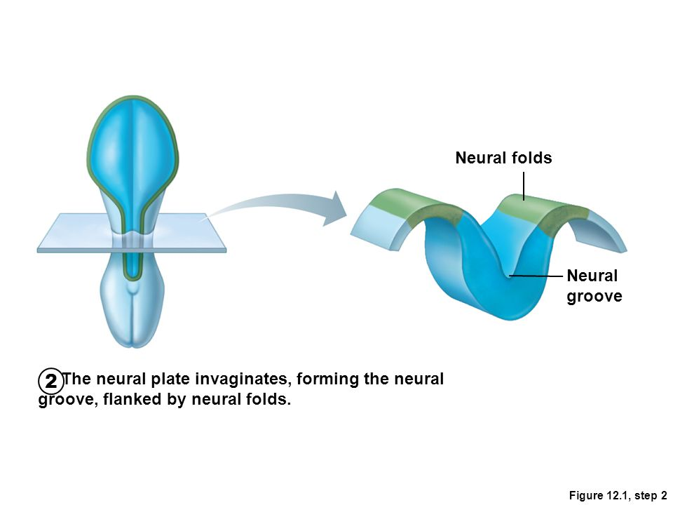 Figure 12.1, step 3 Neural fold cells migrate to form the neural crest, which will form much of the PNS and many other structures.