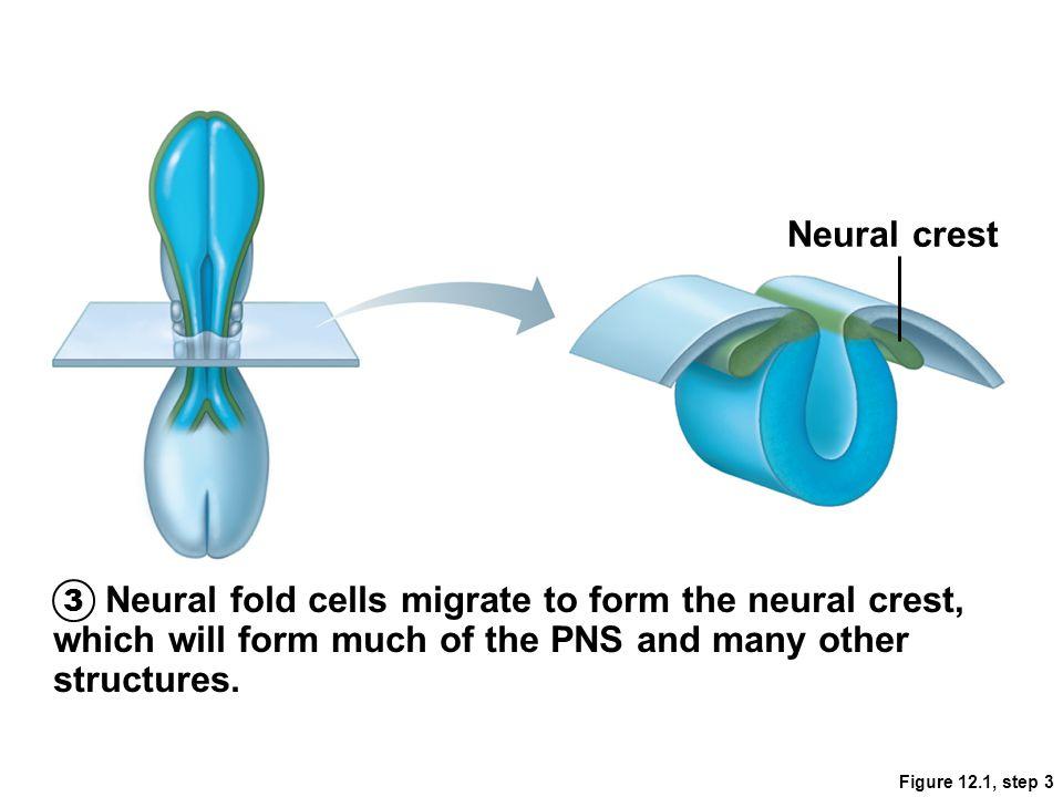 Figure 12.28 White matter Neural tube cells Central cavity Alar plate: interneurons Dorsal root ganglion: sensory neurons from neural crest Basal plate: motor neurons
