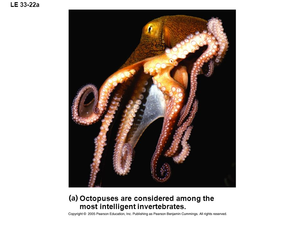 LE 33-22a Octopuses are considered among the most intelligent invertebrates.