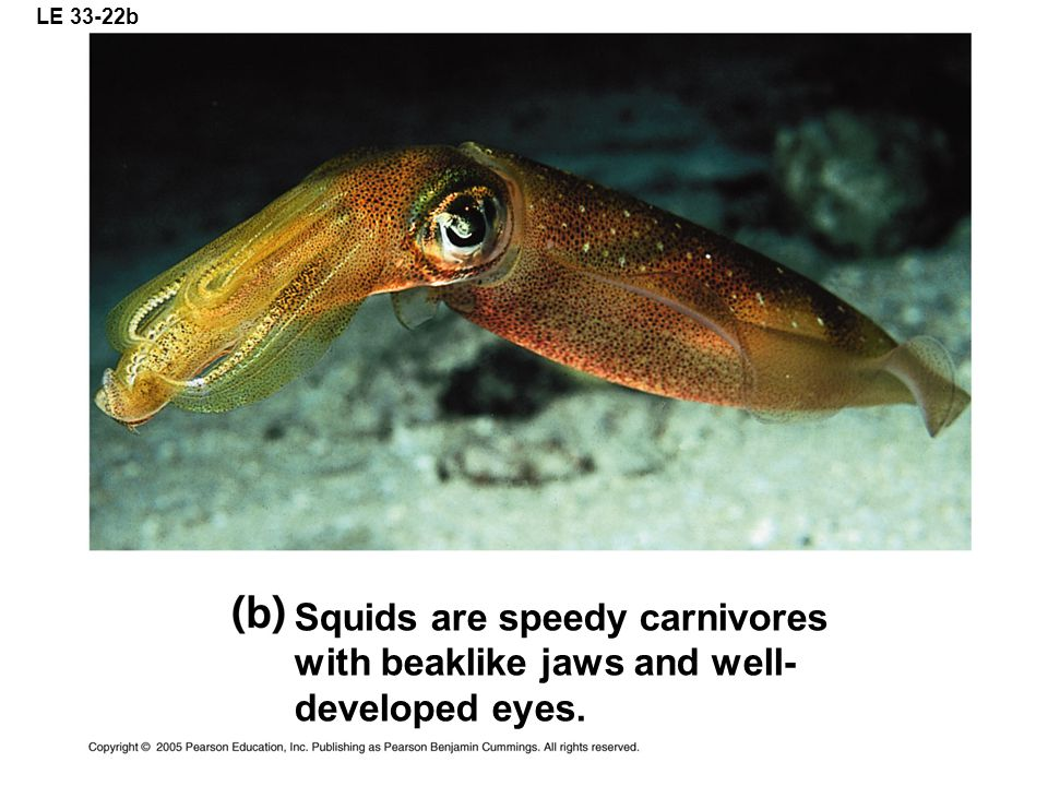 LE 33-22b Squids are speedy carnivores with beaklike jaws and well- developed eyes.