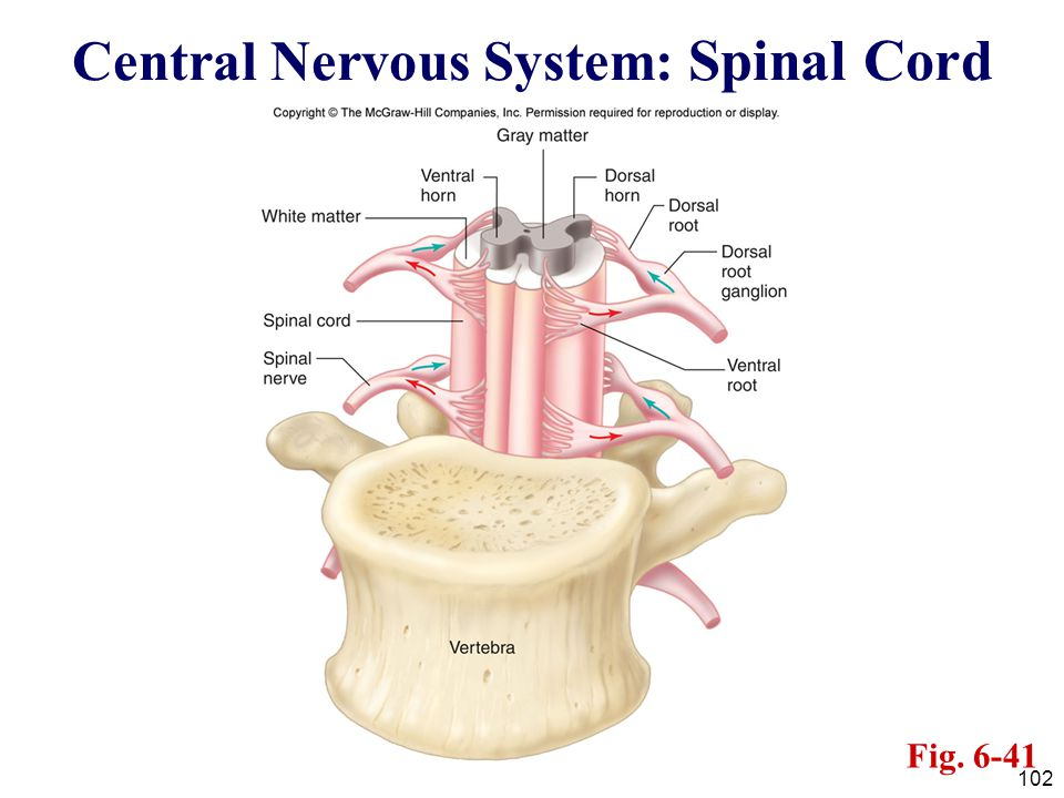 102 Central Nervous System: Spinal Cord Fig. 6-41