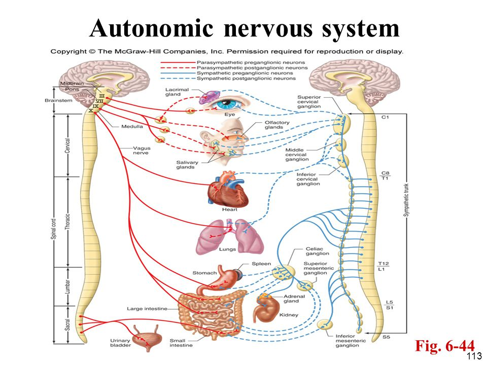 113 Autonomic nervous system Fig. 6-44