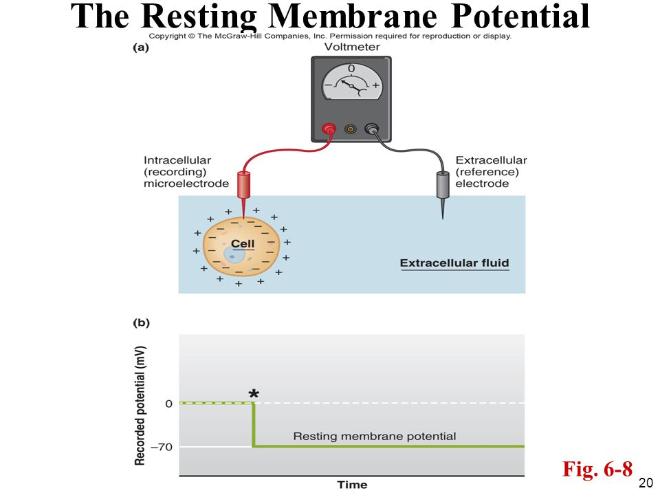20 The Resting Membrane Potential Fig. 6-8