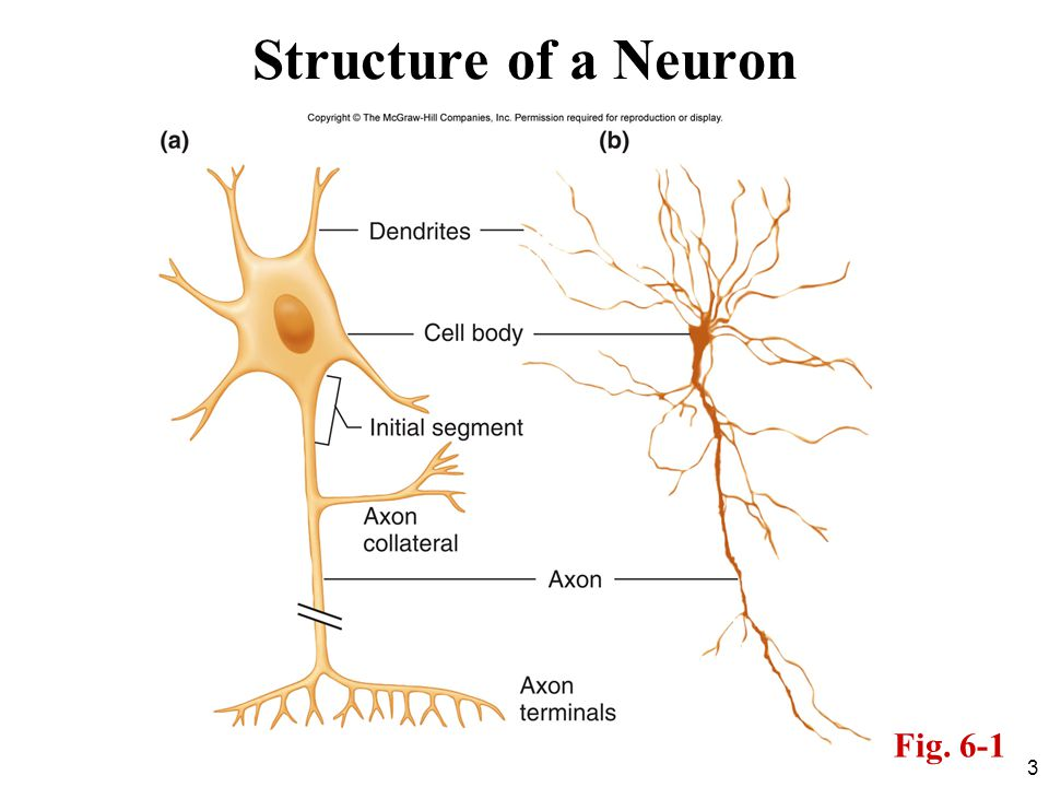 3 Structure of a Neuron Fig. 6-1