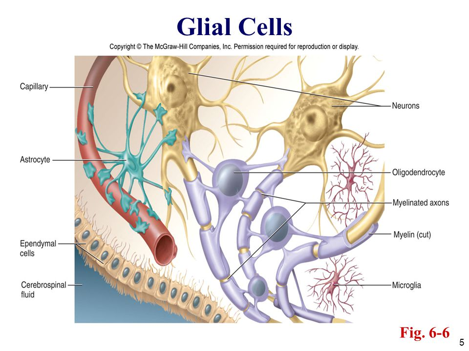5 Glial Cells Fig. 6-6