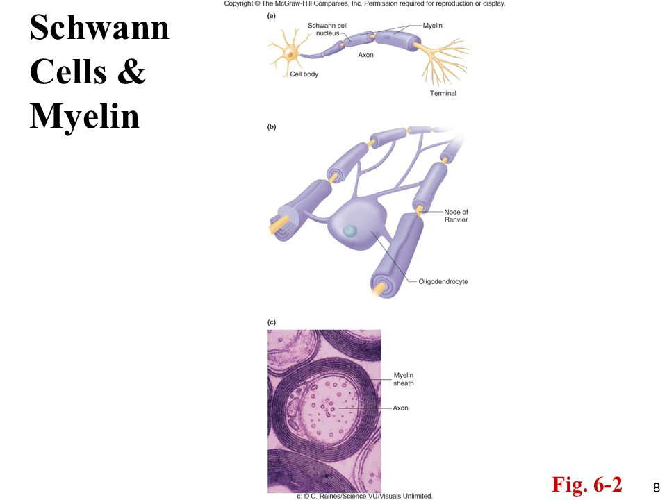 8 Schwann Cells & Myelin Fig. 6-2