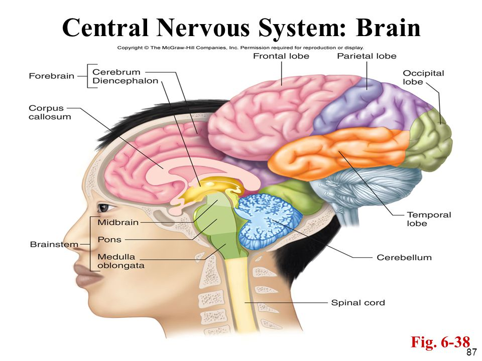 87 Central Nervous System: Brain Fig. 6-38