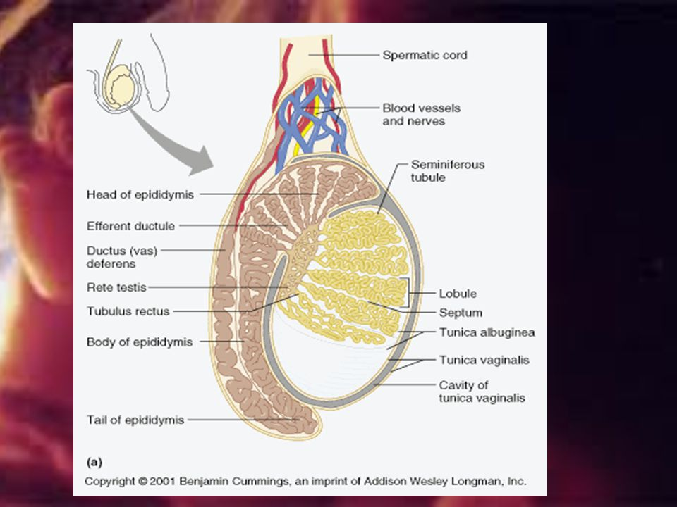 . Ductus Deferens (= vas deferens)-extends upward from epididymis through inguinal canal,to pelvic cavity and arches over superior bladder…enclosed w/