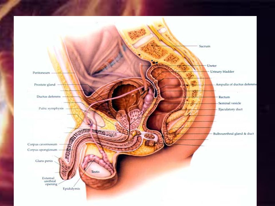 Urethra From base bladder to tip of penis-terminal feature of male system-carries urine and sperm-however both never travel @ same time---bladder sphi