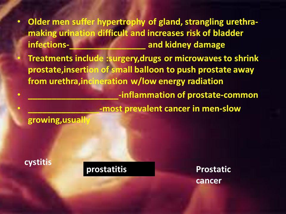 Prostate-single doughnut –shaped gland-encircles prostatic urethra below bladder Its glandular, milky secretion helps activate sperm---during ejaculat