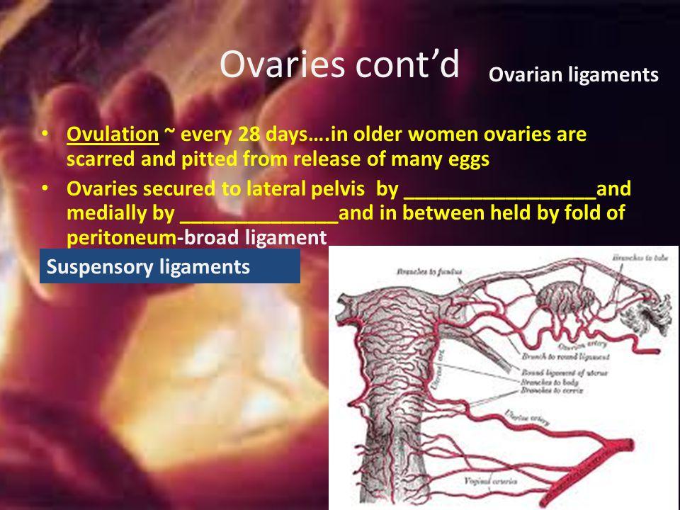 Ovarian follicle Follicle cells