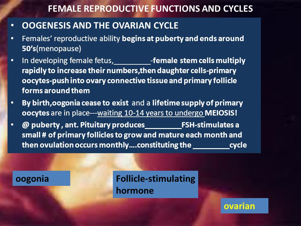 FEMALE REPRODUCTIVE FUNCTIONS AND CYCLES OOGENESIS AND THE OVARIAN CYCLE Females' reproductive ability begins at puberty and ends around 50's(menopause) In developing female fetus,_________-female stem cells multiply rapidly to increase their numbers,then daughter cells-primary oocytes-push into ovary connective tissue and primary follicle forms around them By birth,oogonia cease to exist and a lifetime supply of primary oocytes are in place---waiting 10-14 years to undergo MEIOSIS.