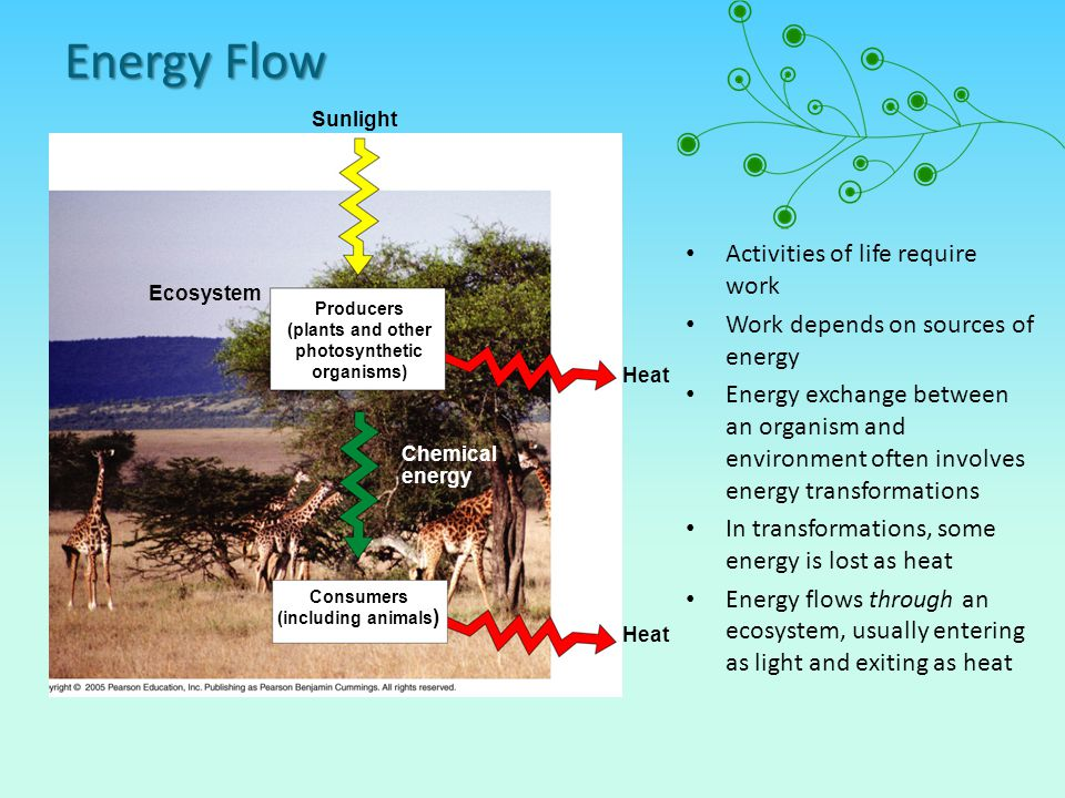 Energy Flow Activities of life require work Work depends on sources of energy Energy exchange between an organism and environment often involves energy transformations In transformations, some energy is lost as heat Energy flows through an ecosystem, usually entering as light and exiting as heat Sunlight Ecosystem Heat Chemical energy Consumers (including animals ) Producers (plants and other photosynthetic organisms)