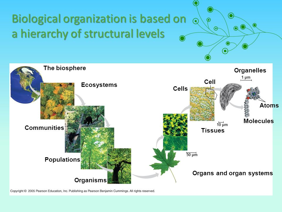 Biological organization is based on a hierarchy of structural levels Ecosystems The biosphere Organisms Populations Communities Cells Organelles Molec