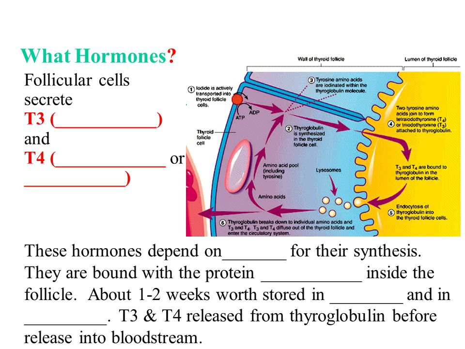 What Hormones? Follicular cells secrete T3 (___________) and T4 (____________ or ___________) These hormones depend on_______ for their synthesis. The