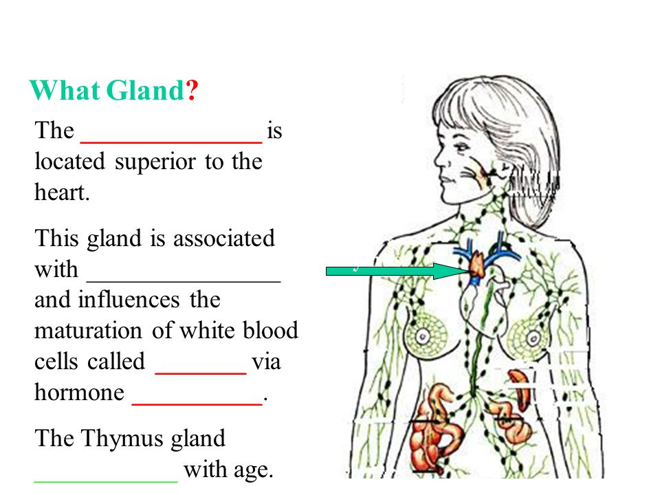 What Gland. The ______________ is located superior to the heart.