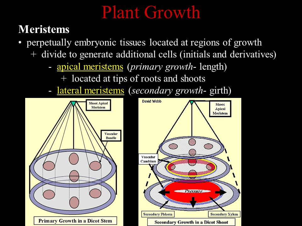 Plant Growth Meristems perpetually embryonic tissues located at regions of growth + divide to generate additional cells (initials and derivatives) - a