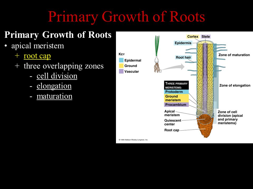 Primary Growth of Roots apical meristem + root cap + three overlapping zones - cell division - elongation - maturation