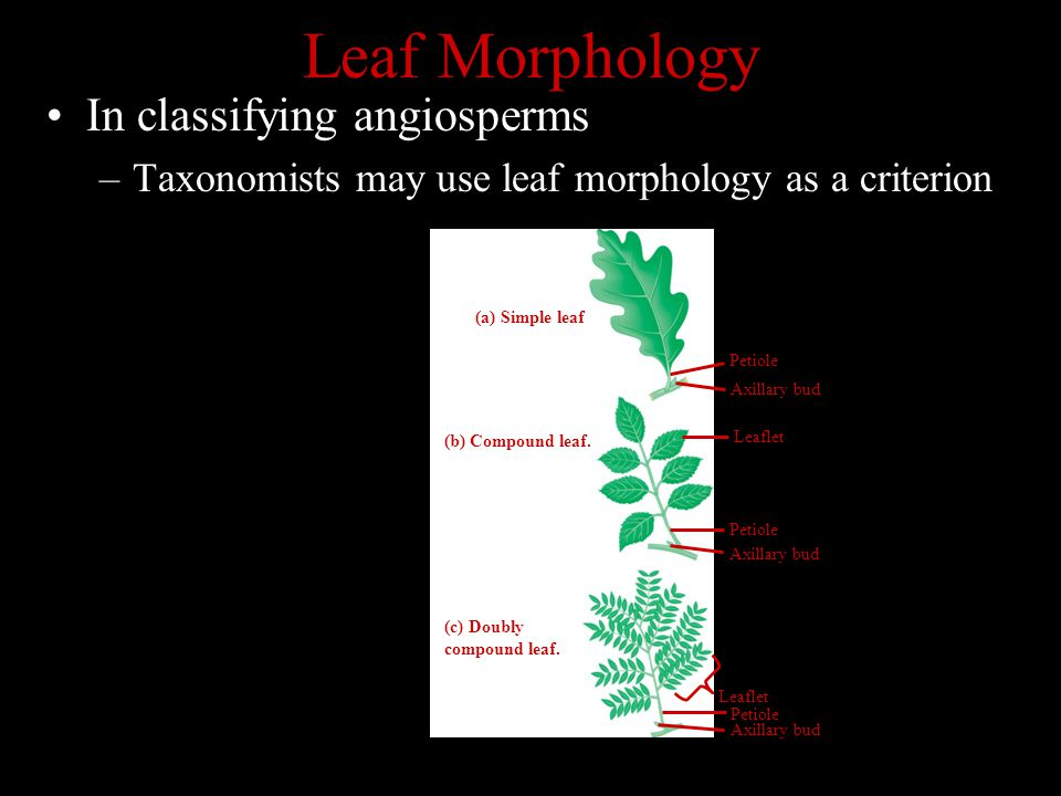 Leaf Morphology In classifying angiosperms –Taxonomists may use leaf morphology as a criterion Petiole (a) Simple leaf (b) Compound leaf. (c) Doubly c