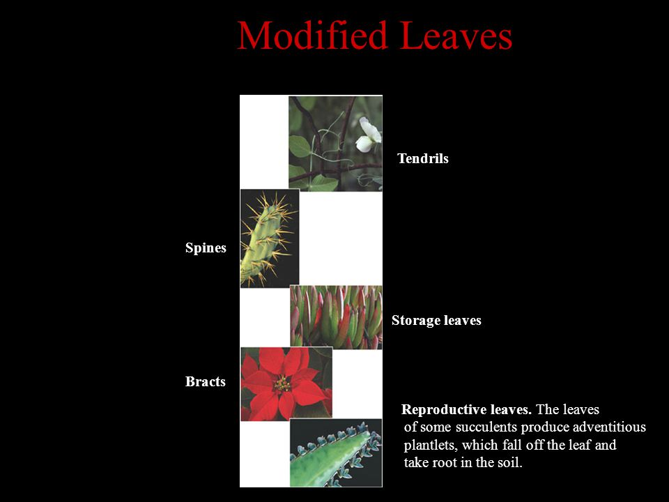Modified Leaves Tendrils Spines Storage leaves Bracts Reproductive leaves. The leaves of some succulents produce adventitious plantlets, which fall of