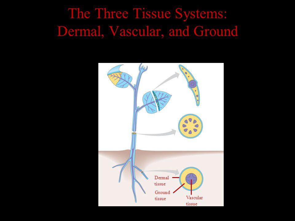 Dermal tissue Ground tissue Vascular tissue The Three Tissue Systems: Dermal, Vascular, and Ground