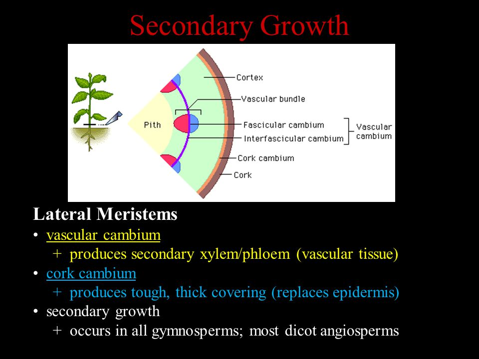 Secondary Growth Lateral Meristems vascular cambium + produces secondary xylem/phloem (vascular tissue) cork cambium + produces tough, thick covering (replaces epidermis) secondary growth + occurs in all gymnosperms; most dicot angiosperms
