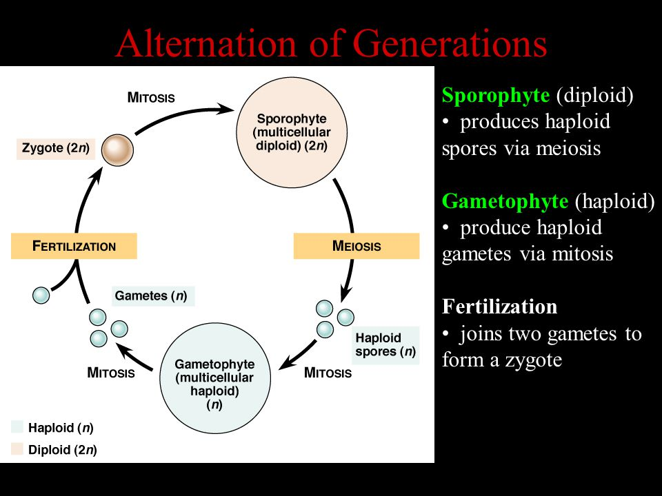 Alternation of Generations Sporophyte (diploid) produces haploid spores via meiosis Gametophyte (haploid) produce haploid gametes via mitosis Fertilization joins two gametes to form a zygote
